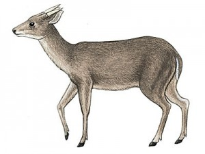 "Figure 4 The animal shown here is Mazama americana, or the Red Brocket deer, that is a common mammal found in Mesoamerica. It can readily be seen how this animal could be confused with a goat. Its single ""horn"" on each side of the head is really an antler. Antlers are shed each year, while horns are not. This illustration is from Amazonwiki."