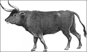 Bos taurus is a basic type which represents cattle in general, and apparently the species from which most of our modern cattle descended. Its remains have been identified from a number of archaeological sites including some from the Yucatan Peninsula. This figure comes from Amazonwiki.