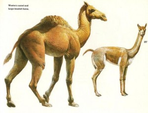 "Figure 6 Two extinct species of llama (a type of camel) are shown here. Either could conceivably be a ""Curelom"" or ""Cumom"" as explained in the text. Both are known from Mesoamerica and probably existed when men came into this region. Illustration courtesy of the George C. Page Museum in Los Angeles, California."