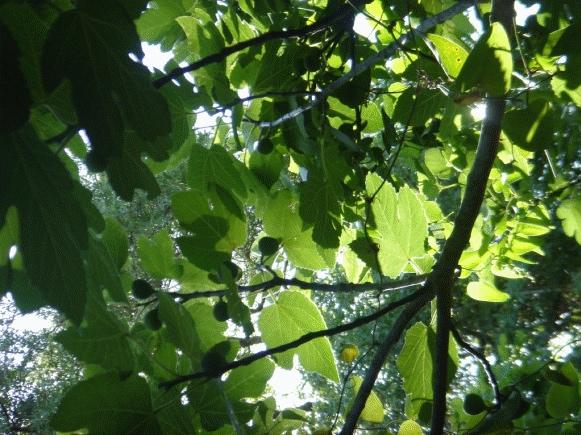 Fig Tree at Tel Dan Nature Reserve, Israel