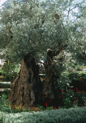 Olive Tree, Traditional Site of the Garden of Gethsemane