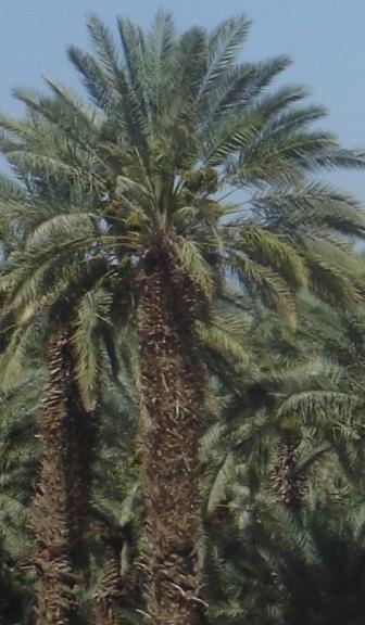 Palm Tree Near the Dead Sea