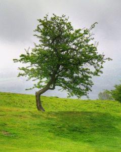Stephen T. Whitlock, 1951-: Tree Near British Camp, 2009.