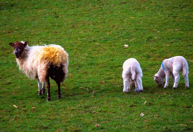Ewe and Lambs, Lakes District, England, 2000.